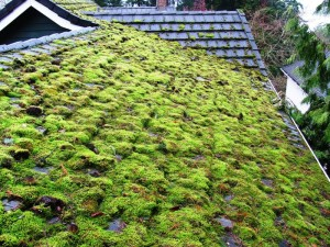 An extreme example of unchecked moss and tree debris on a 30-yr roof in a cool humid climate.